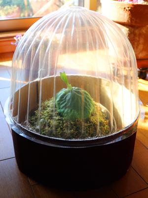 ビカクシダ マダガスカリエンセ 小型 簡易 温室