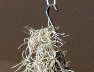 ウスネオイデス 針金