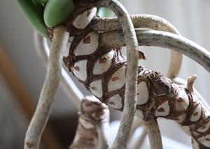 フィロンデンドロン・クッカバラ 茎