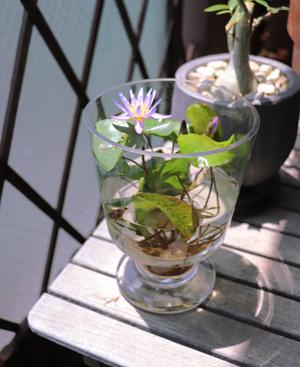 熱帯スイレン ミロク ガラス容器