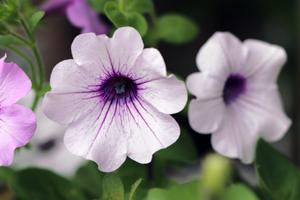 サフィニア 薄紫