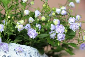 ブルーワンダー 開花