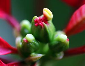 ポインセチア 花 蜜腺