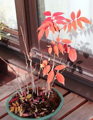 ハゼノキ 紅葉