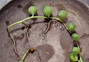 グリーンネックレス 水挿し 増やす 発根