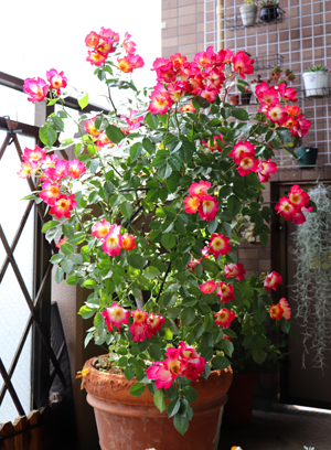 つるバラ カクテル 花盛り