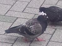 名古屋鳩とさか