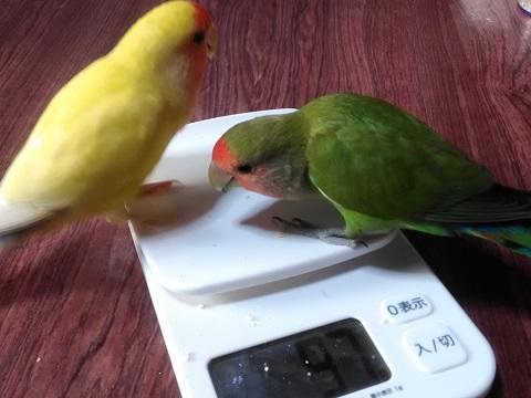 チコとキムニィ体重測定