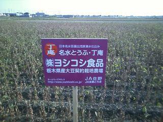 契約栽培大豆畑ー2