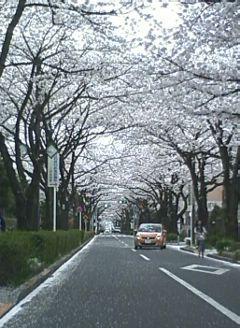 2013.03.29.さくら通り2