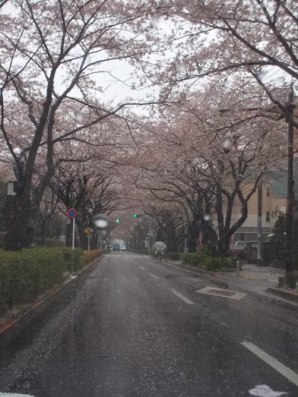今日のさくら通り2013.04.03-1