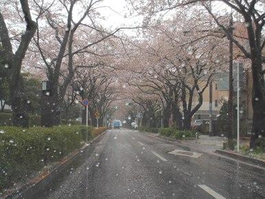 今日のさくら通り2013.04.03-2
