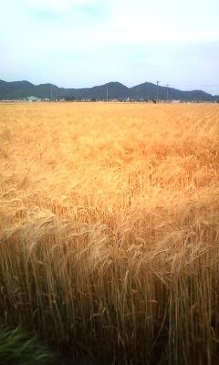 金色の麦畑1