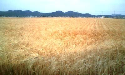 金色の麦畑2