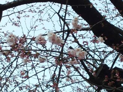 上野の桜咲く