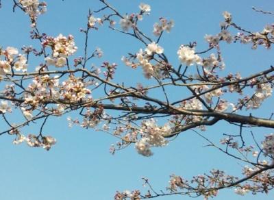 2015.03.30.桜の様子