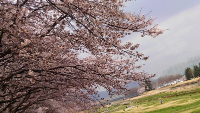 旗川の桜2016