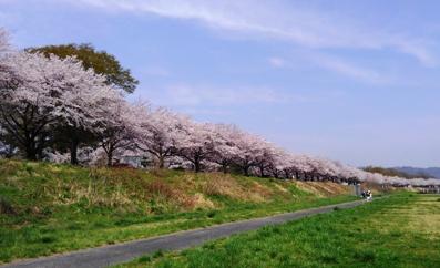 旗川土手の桜