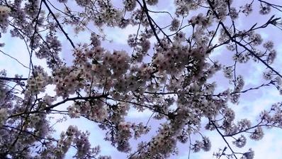 旗川の桜 アップ2017.04.12.