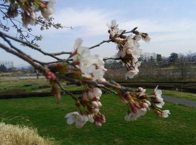 20180327旗川の桜