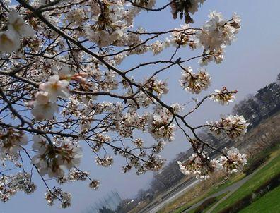 2018.03.28旗川の桜