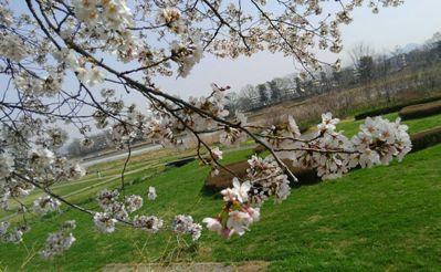 2018.03.29.旗川の桜1