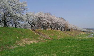 2018.03.29.旗川の桜2