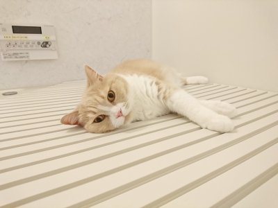 風呂のふたで寝るチャタロウ