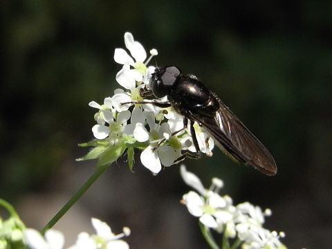 黒いハナアブ