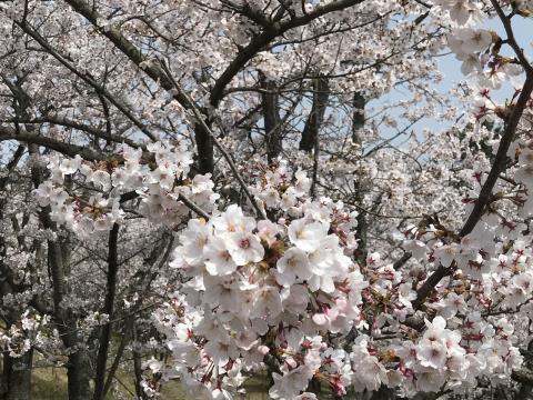 2019桜06