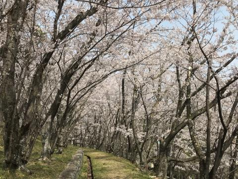 2019桜07