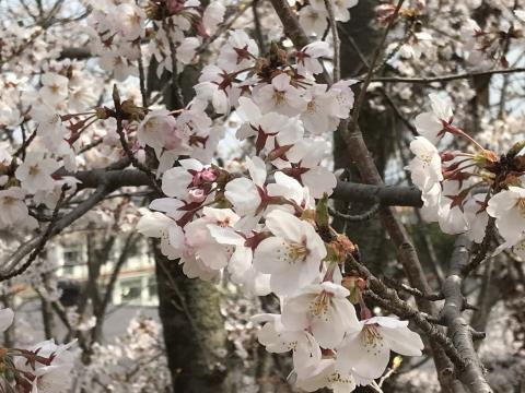 2019桜08