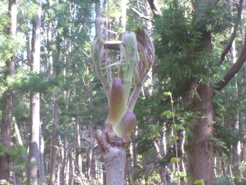 会津磐梯のタラノメ