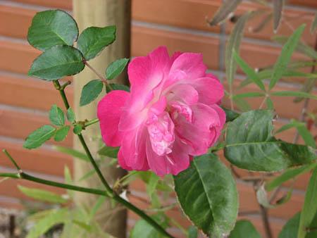 お庭のバラです