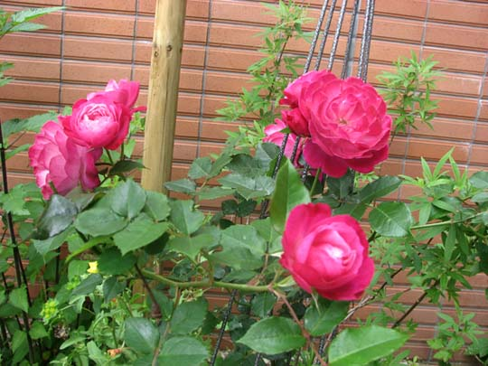 密かに咲いた一輪の薔薇