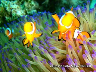 クラウンアネモネフィッシュ学名:Amphiprion percula 英名:Clown anemonefish