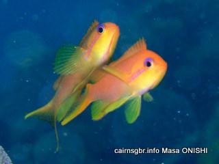 キンギョハナダイ Scalefin Anthias Pseudanthias squamipinnis