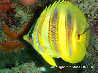 Rainfords Butterflyfish/Goldbarred Butterflyfish/Chaetodon rainfordi