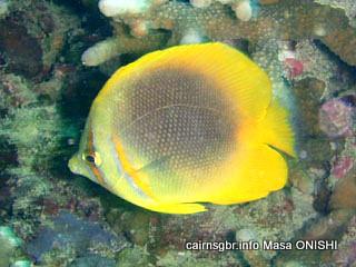 ゴールデンストライプド バタフライフィッシュ/Chaetodon aureofasciatus/Golden-striped butterflyfish