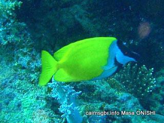フォクスフェイス ラビットフィッシュ/Foxface rabbitfish/Siganus vulpinus