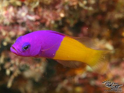 ロイヤルドティバック/Royal Dottyback/Pseudochromis paccagnellae