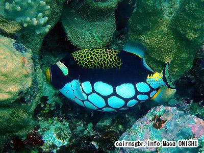 モンガラカワハギ/Balistoides conspicillum/Clown triggerfish