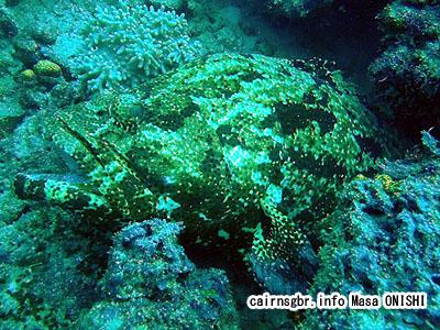 アカマダラハタ/Epinephelus fuscoguttatus/Brown-marbled grouper