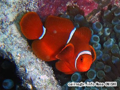 スパインチークアネモネフィッシュ/Premnas biaculeatus /Spinecheek anemonefish
