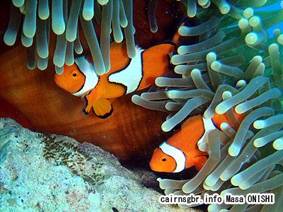 クラウンアネモネフィッシュ/Amphiprion percula /Clown anemonefish