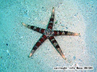 ひとで/starfish