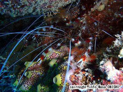 オトヒメエビ/Stenopus bispidus/Banded coral shrimp