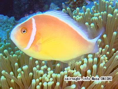 ハナビラクマノミ/Amphiprion perideraion Bleeker/Pink anemonefish