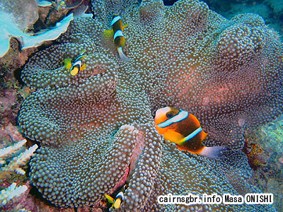 バリアリーフ アネモネフィッシュ/Amphiprion akindynos/Barrierreef anemonefish