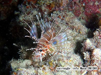 キリンミノ/Dendrochirus zebra /Zebra lionfish